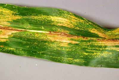 Physoderma brown spot on corn