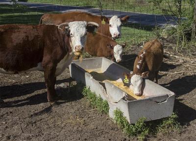 Cow and calves at feedbunk