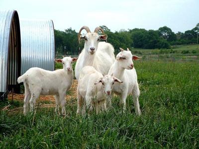 Kiko goat conference set in Stillwater, Okla  | News