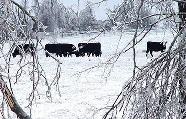 Cattle and Ice