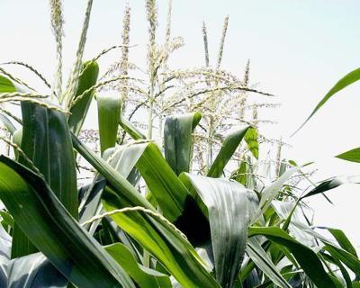 corn tassels field