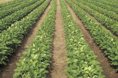 Soybean Rows