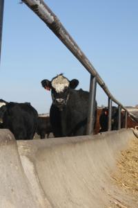 Livestock   farmtalknewspaper com