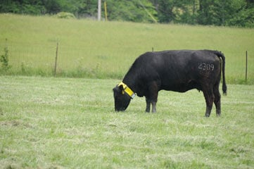Collars For Cows More Than Bling Cover