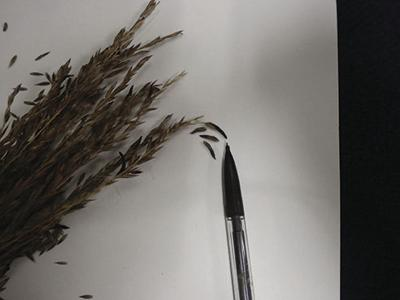 Fescue seed heads with ergot