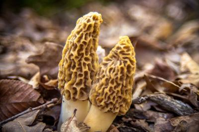 Two Morels