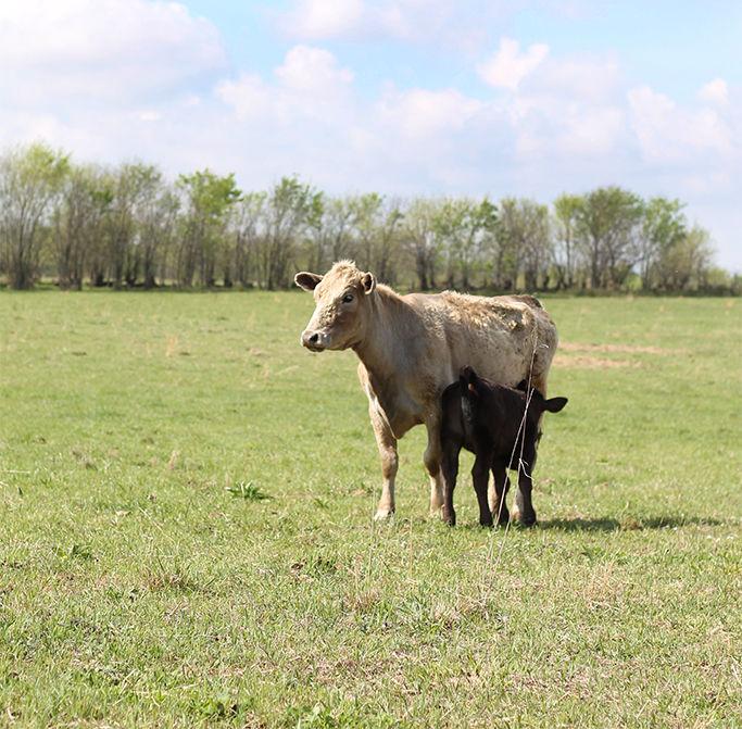 Schenker Cattle