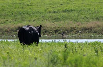 Cow Approaching Pond