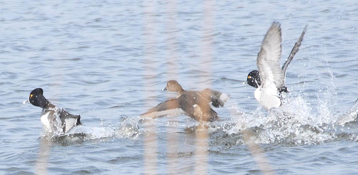 0920.waterfowl1