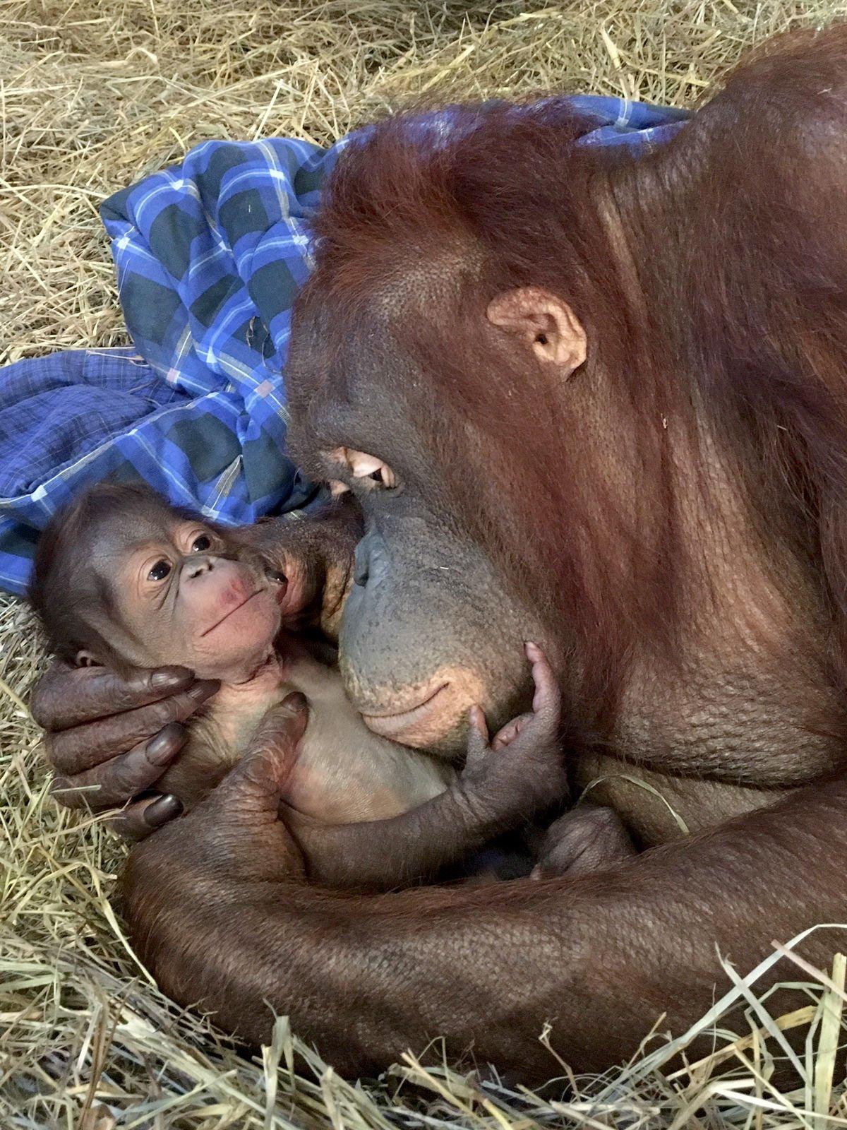 National Zoo's Redd is a furry ambassador for endangered orangutans
