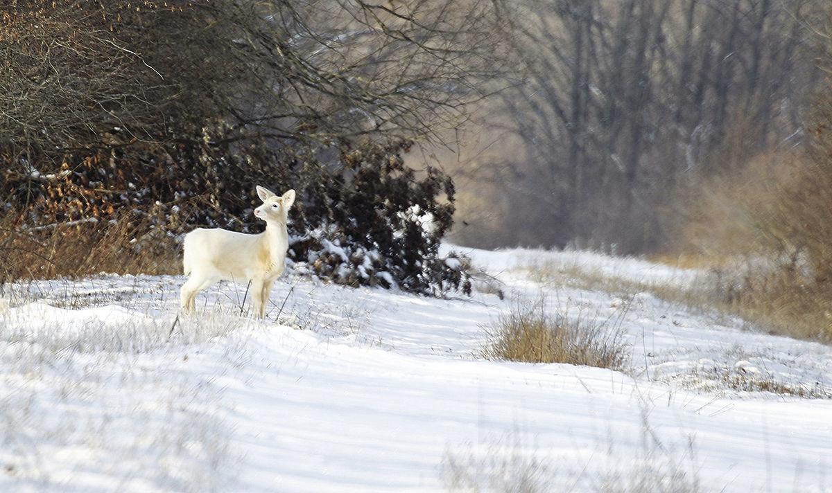 White Deer 2