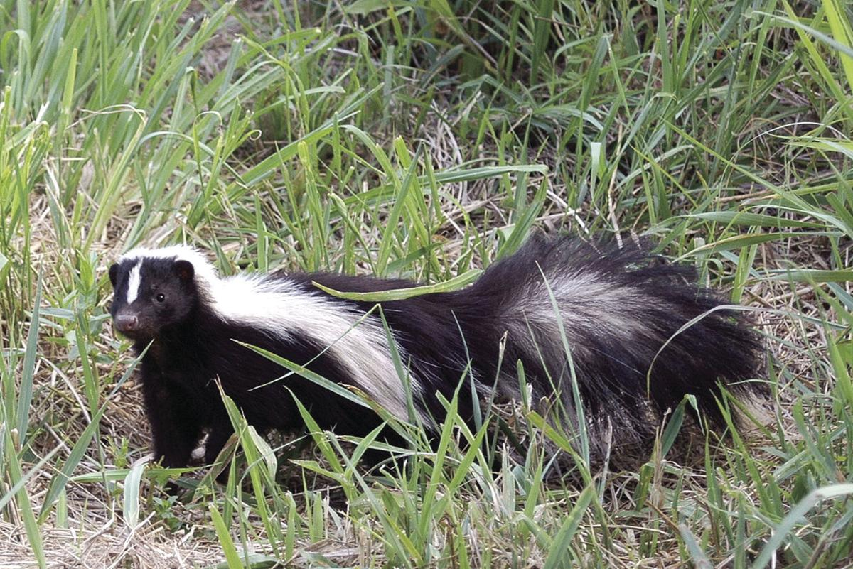 speaking of nature on the trail of skunks lifestyle fltimes com