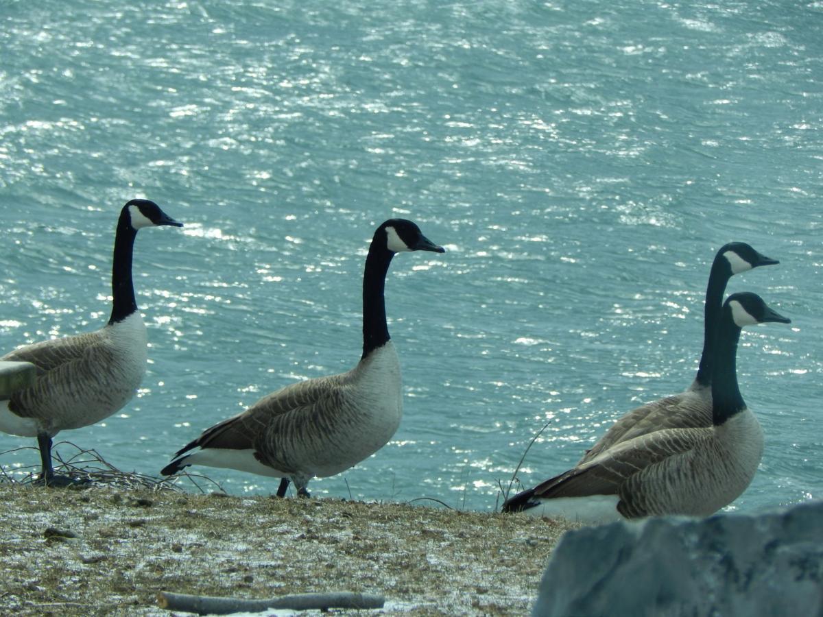 VIEWFINDER: Geese at Sampson