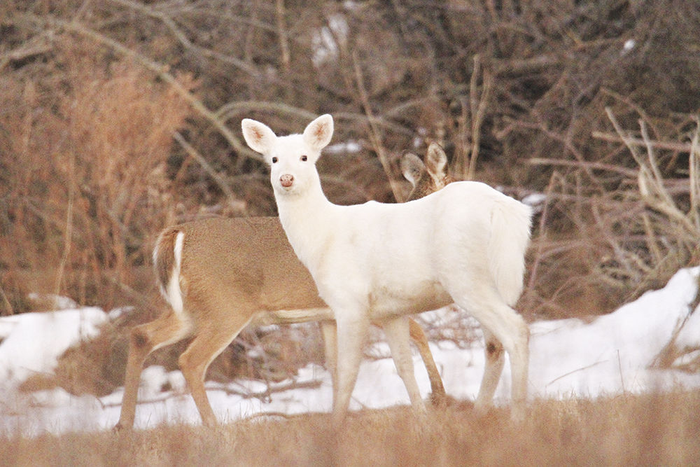 DHP Whitetail with brown deer