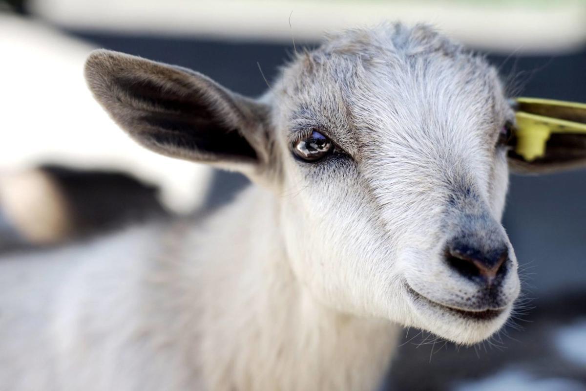 Udderly goat