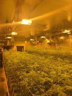 Police seize 4,600 marijuana plants in illegal grow in San