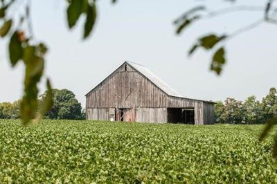 Soybean Tips