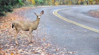 October through December peak season for collisions involving deer, other wildlife