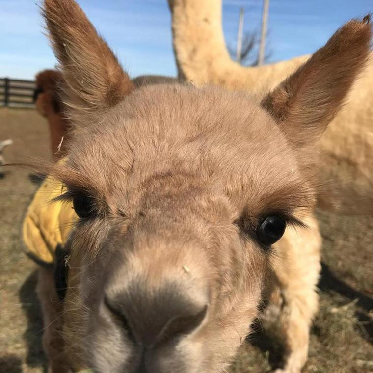 Simpson County welcomes Anastasia, its first baby alpaca