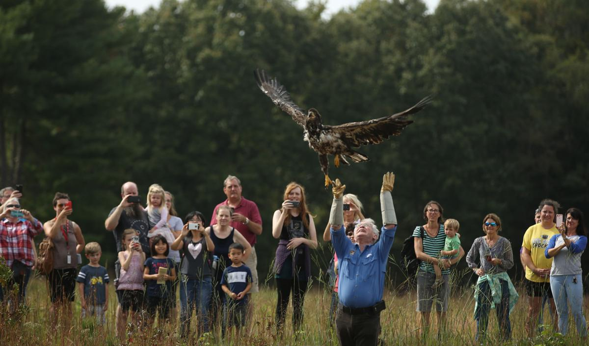 Rehabilitated bald eagle takes flight again from Caledon State Park ...