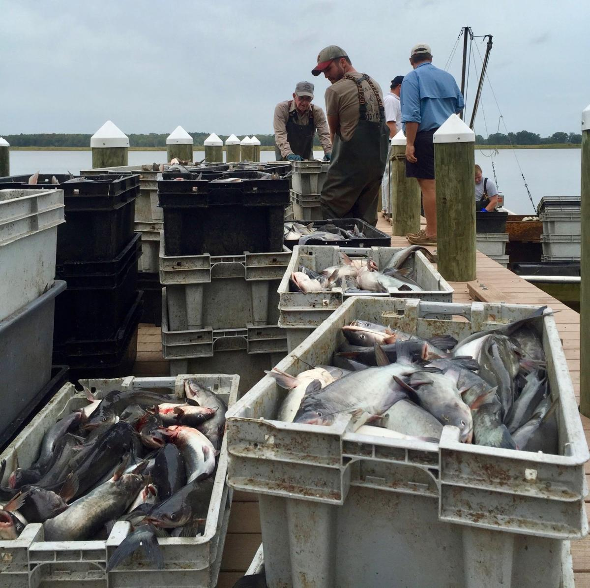 catfish indutry But vietnam has flooded the us market with cheaper catfish, driving many   our industry peaked at 660 million pounds live-weight fish.