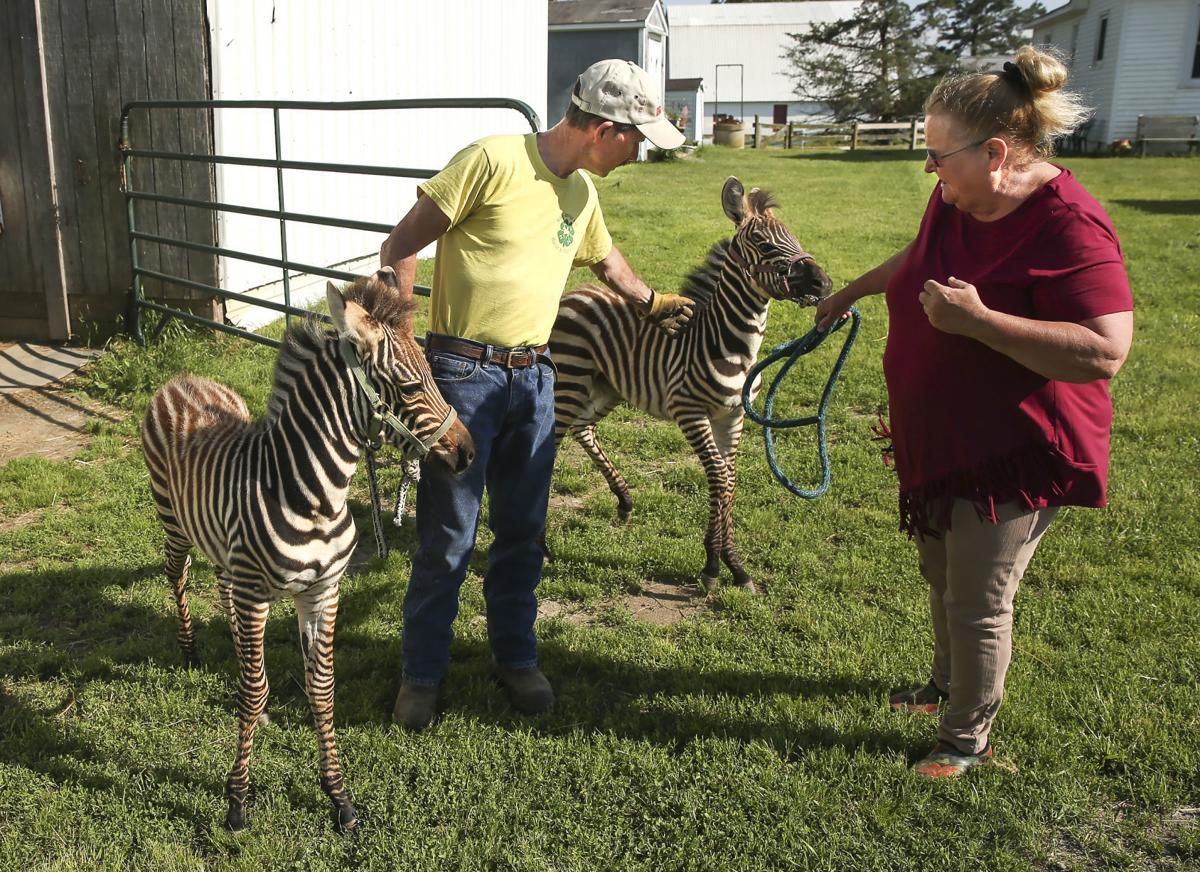 Wards Farm zebras