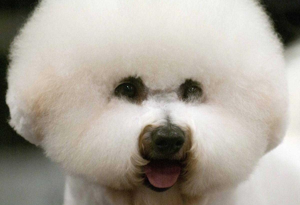 Primped pooches putting on a show at celebrate virginia dog show lo010815dogshowrm solutioingenieria Choice Image