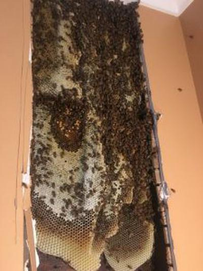 Insane' discovery: 30,000 bees - and 40 pounds of honey - inside the