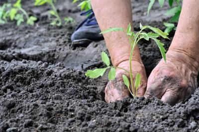 gardener's hands planting a tomato seedling