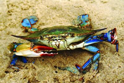 Survey finds Chesapeake Bay blue crab numbers on the rise
