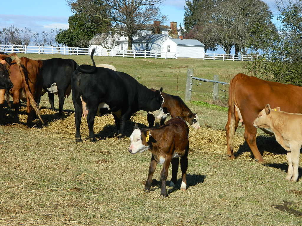 Raising beef with a gentle touch at Charity Hill in Caroline County