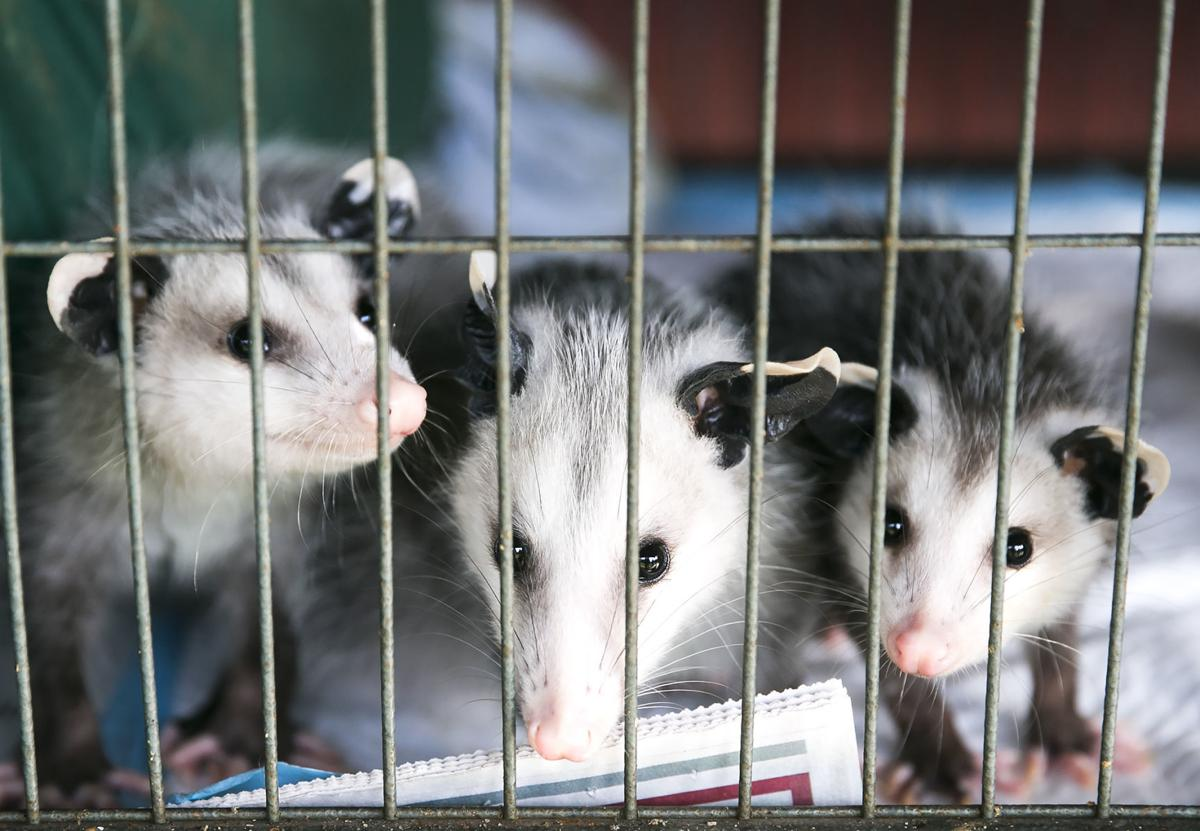 How To Get Rid Of A Possum In Your Garage stafford woman shares her passion for possums | lifestyles