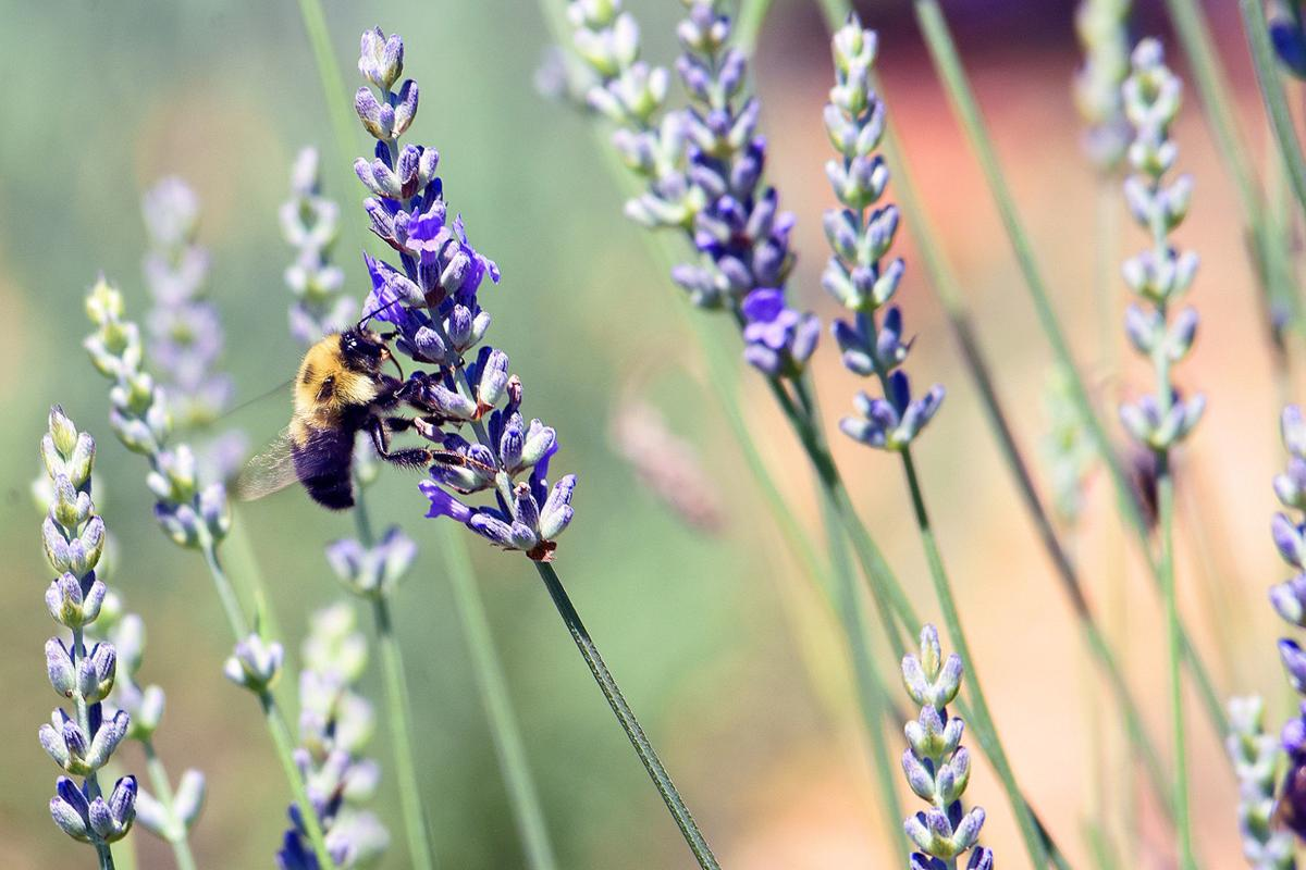 Beauty and aroma enhance everyday life on Culpeper lavender