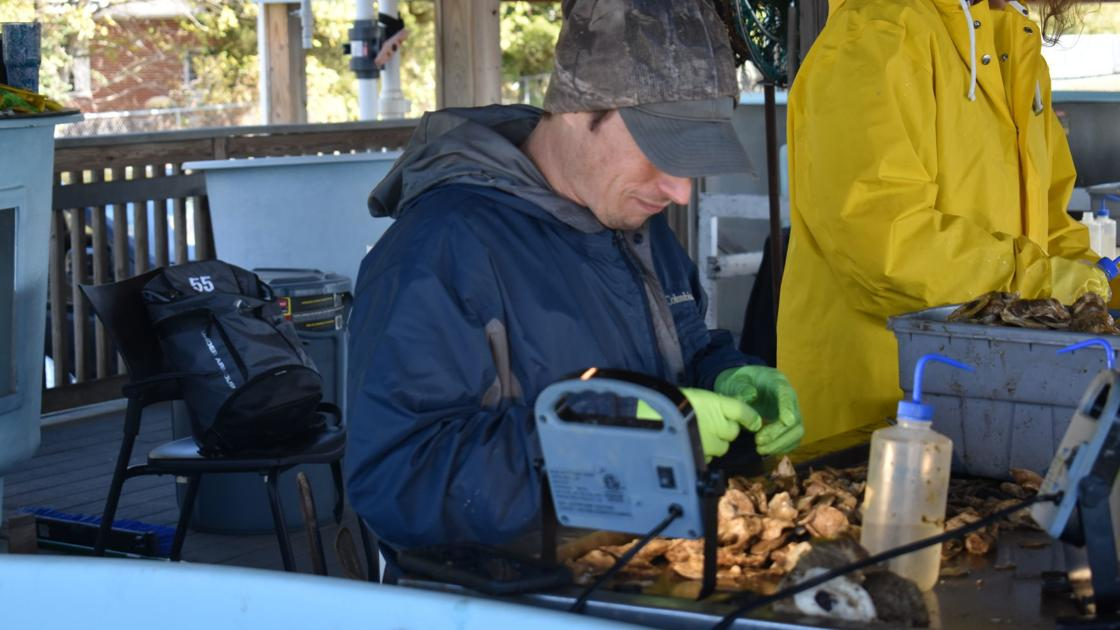Future Chesapeake Bay wild oysters may outshine any other oyster—literally