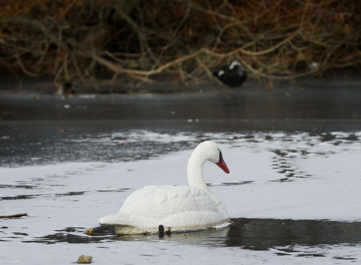 swan decoys