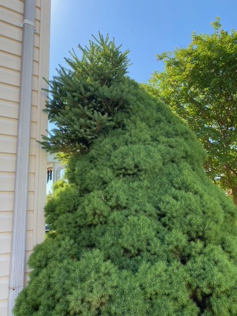 IN NATURE: Witches broom catches homeowners off guard