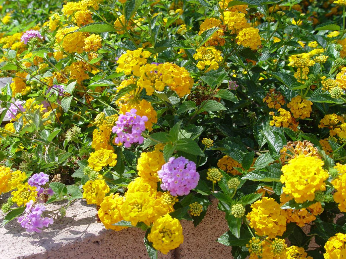 Lantana Gives Hummingbird And Butterfly Attracting Perpetual Color