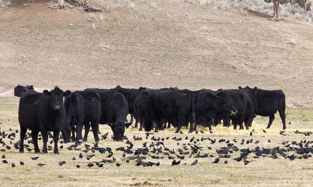 High health risk cattle