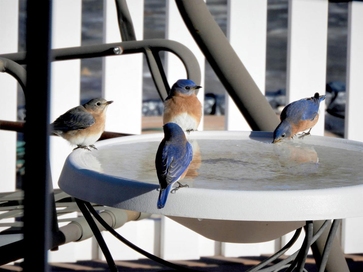 0315_Bluebirdsbathing
