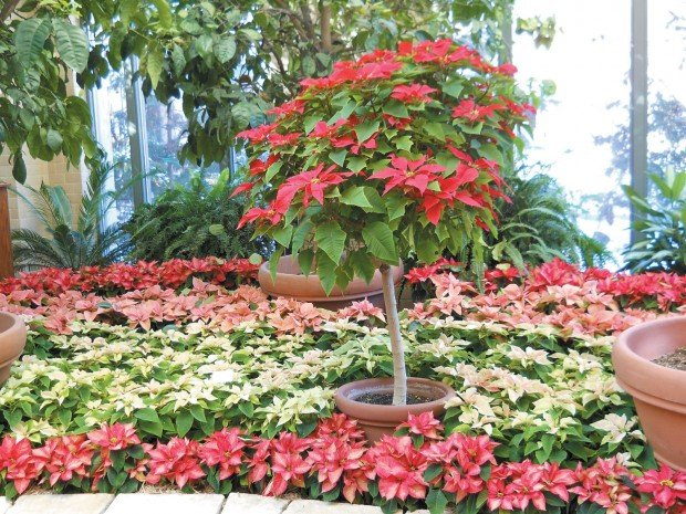 Lauritzen Gardens gets into the season with the Holiday Poinsettia