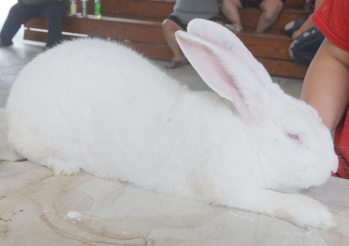 Big rabbit at the fair