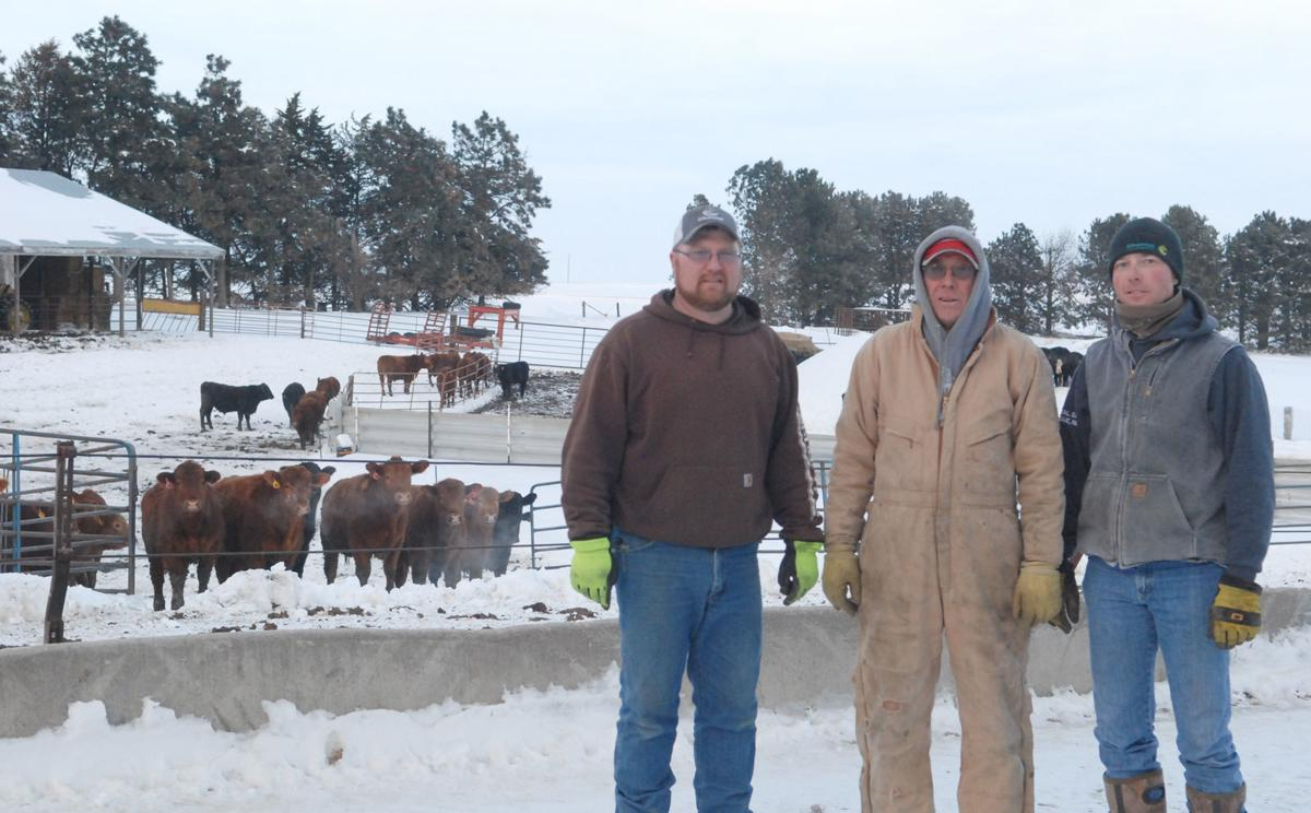 Dad and sons by cattle