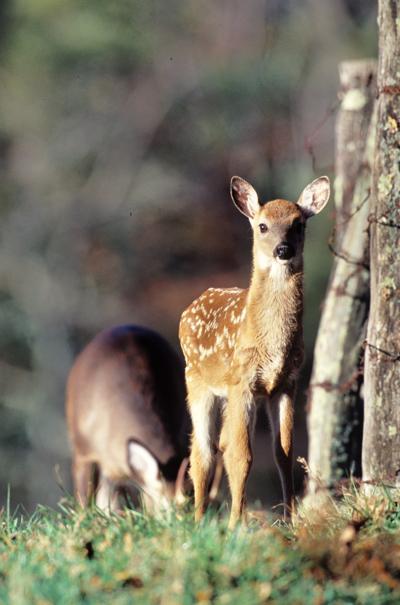 062217/B3/deer