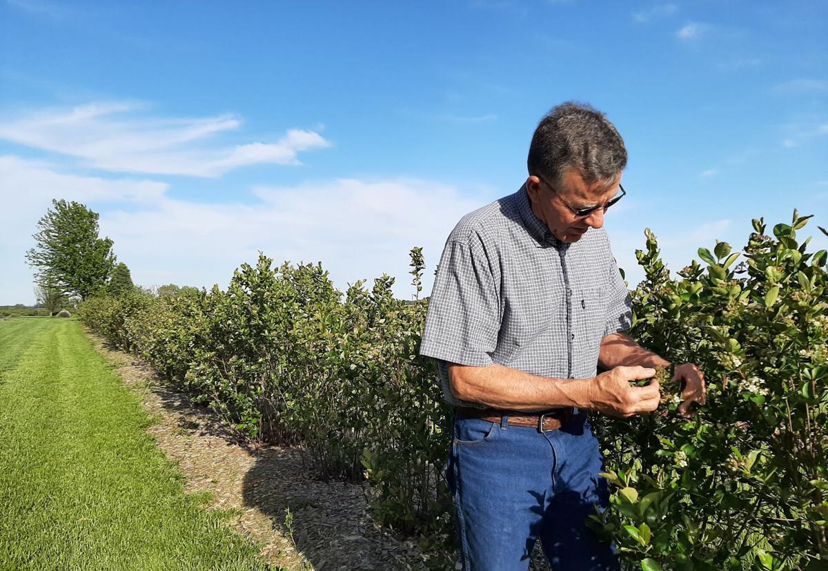 Dale Hilgenkamp standing near bushes of aronia berries