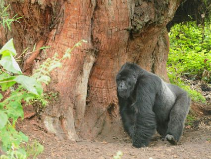 Jacobs helps document animals for Karisoke Research Center