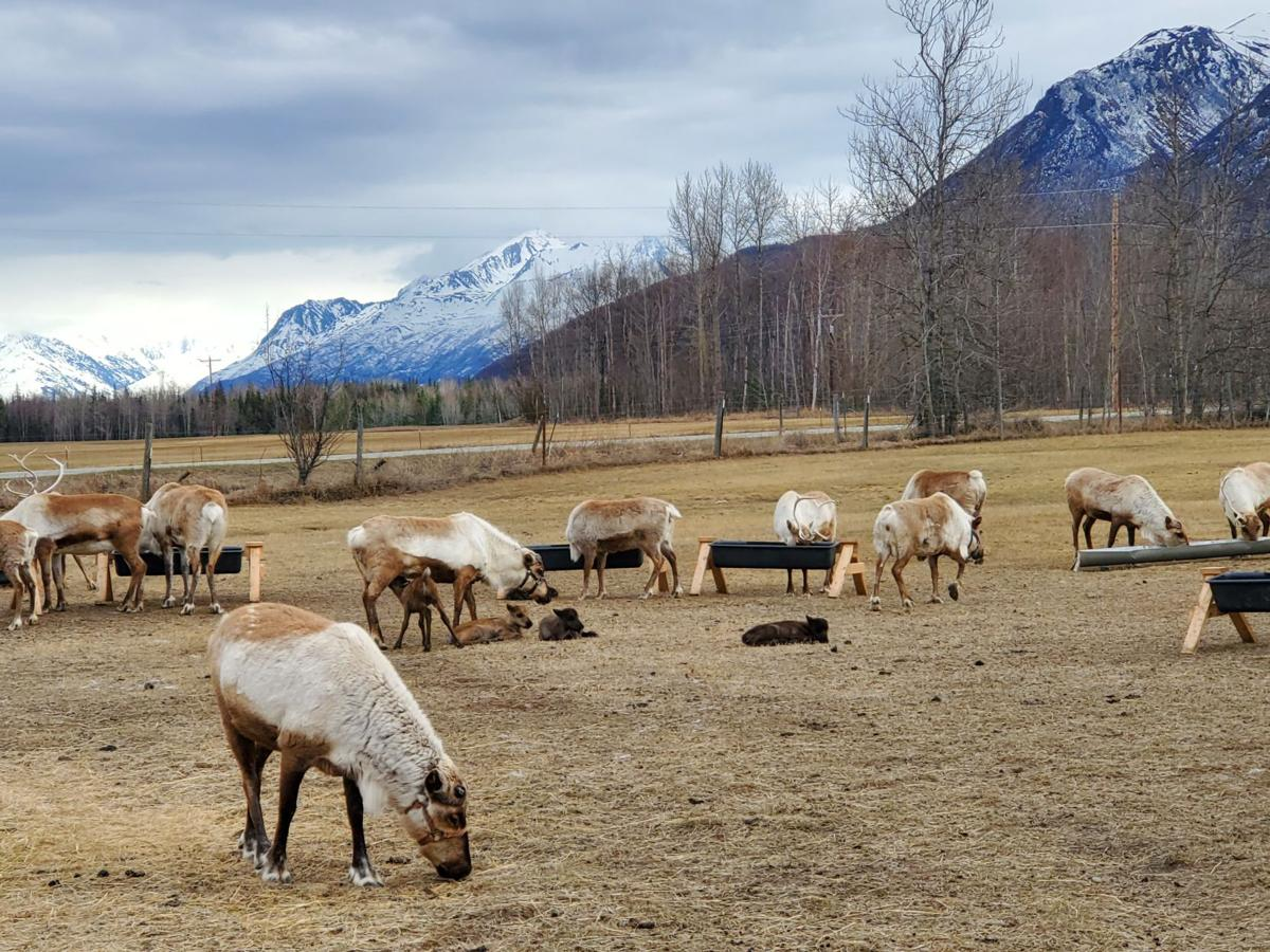 Reindeer Farm calves