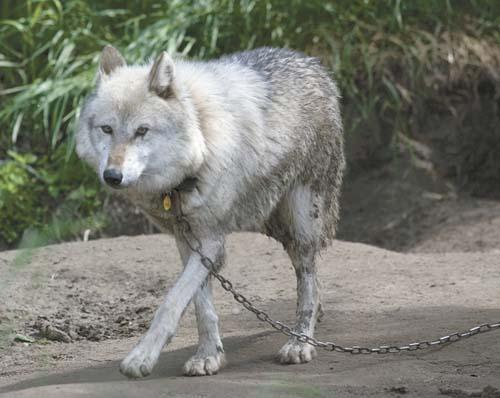 Wolf Country USA raided | Local News Stories | frontiersman com