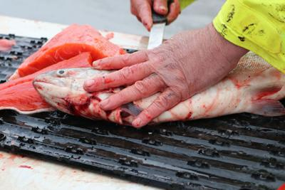 Dave Osantowski fillets the only sockeye salmon a group of four charter boat Copper River dipnetters