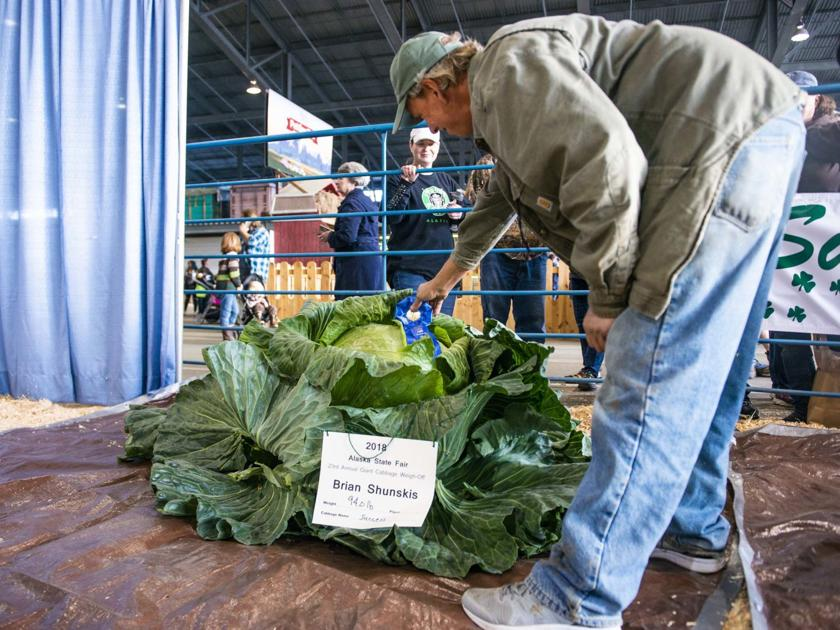 """Success"" again; Salcha grower repeats as Alaska State Fair cabbage champion 