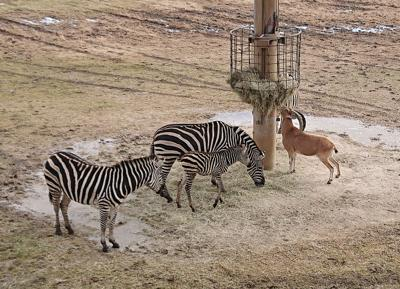 PHOTO: Baby zebra joins zoo population | Local News